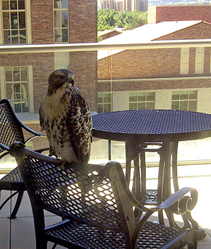 A hawk lands near the Palmer lab